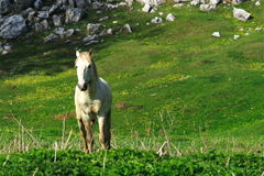 Wild white horse Stock Photography