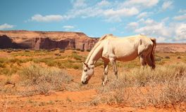 Wild white horse Stock Photos