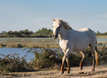 Wild white horse of the Camargue Stock Photos