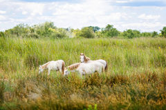 Wild white horse of the Camargue, France, Royalty Free Stock Photography