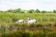 Wild white horse of the Camargue, France, Royalty Free Stock Image