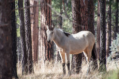 Wild white horse in the forest Stock Photography