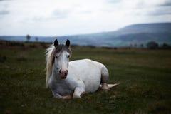 Wild white horse, on a welsh mountain near Llangorse lake Stock Photos