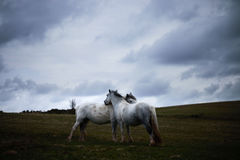 Wild white horse, on a welsh mountain near Llangorse lake Royalty Free Stock Photography