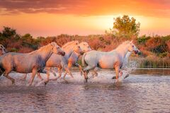 Free Wild White Horses Of Camargue Running On Water At Sunset. Southern France Royalty Free Stock Photography - 179607367