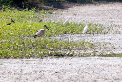 Wild white large birds in farm search for fishes. Wild white large birds look like ciconiiformes bird or stork standing resting walking on a fish and shrimp farm stock photos