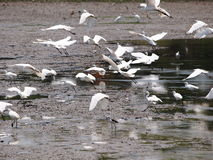 Wild white large birds flying in farm search for fishes Stock Photography