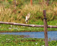 Wild white large ciconiiformes bird standing. Still resting on a fish and shrimp farm fence outdoor under warm summer sunlight in Thailand royalty free stock image