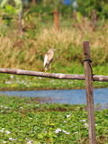 Wild white large ciconiiformes bird standing. Still resting on a fish and shrimp farm fence outdoor under warm summer sunlight in Thailand royalty free stock photography