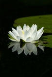 Wild White Lily Pad Flower With Reflection Royalty Free Stock Images