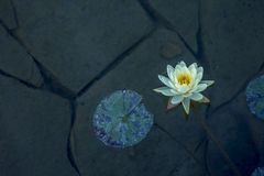 Wild White water lily with a yellow core Stock Images