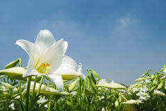 Wild White lily under sunlight Royalty Free Stock Images