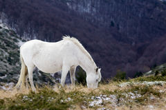 Wild white mustang horse, feeds of a snowy field Royalty Free Stock Photo