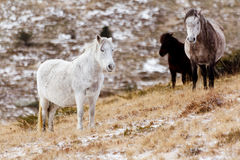 Wild white mustang horse on a snowy field Royalty Free Stock Photography