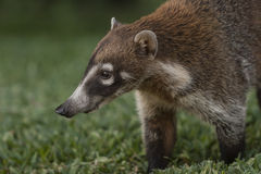 White-nosed Coati Close-up Stock Images