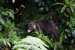 Wild white-nosed coati in  rainforest. Wild white-nosed coati in lush rainforest Monteverde Costa Rica Royalty Free Stock Photography