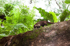 Wild white-nosed coati in  tree. Wild white-nosed coati in manuel antonio Costa Rica Royalty Free Stock Image