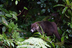 Wild white-nosed coati in  rainforest. Wild white-nosed coati in lush rainforest Monteverde Costa Rica Royalty Free Stock Images