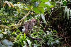 Wild white-nosed coati in  rainforest. Wild white-nosed coati in lush rainforest Monteverde Costa Rica Stock Photo