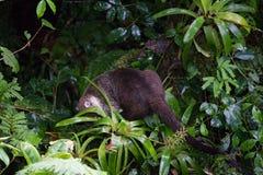 Wild white-nosed coati in  rainforest. Wild white-nosed coati in lush rainforest Monteverde Costa Rica Stock Images