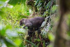 Wild white-nosed coati in  rainforest. Wild white-nosed coati in lush rainforest Monteverde Costa Rica Stock Image