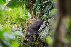Wild white-nosed coati in  rainforest. Wild white-nosed coati in lush rainforest Monteverde Costa Rica Stock Photography