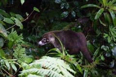 Wild white-nosed coati in  rainforest. Wild white-nosed coati in lush rainforest Monteverde Costa Rica Royalty Free Stock Image