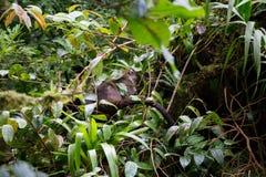 Wild white-nosed coati in  rainforest. Wild white-nosed coati in lush rainforest Monteverde Costa Rica Royalty Free Stock Photos
