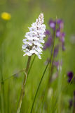 Wild white orchid Stock Photo