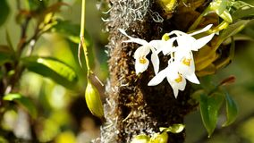 Wild white orchids and its bulb moving stock video