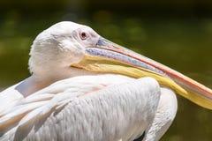 Wild White Pelican Bird Stock Photography