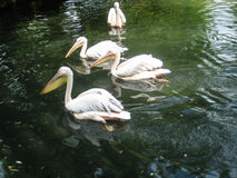 Wild white pelicans in zoo muddy pond royalty free stock images