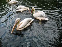 Wild white pelicans in zoo muddy pond Stock Image