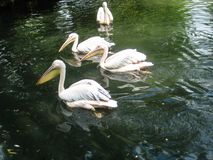 Wild white pelicans in zoo muddy pond royalty free stock photos