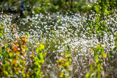 Wild white plants in forest. Back-lit of morning light, Cotton grass or Wollgras, or Eriophorum Royalty Free Stock Photo