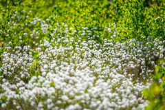 Wild white plants in forest. Back-lit of morning light, Cotton grass or Wollgras, or Eriophorum Stock Photography