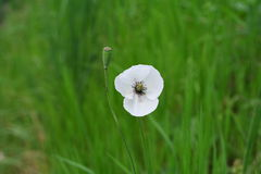 Wild white poppy flower. White wild poppy flower in the forest Stock Images