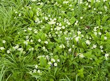 Wild white primroses in Spring Royalty Free Stock Image