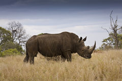 Wild white rhinoceros at Kruger national park, South Africa Royalty Free Stock Photos