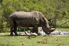 Wild white rhinoceros taking mud bath at Kruger park, South Africa Royalty Free Stock Photography