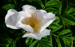Wild white rose Stock Photo