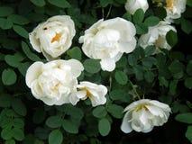 Wild white rose on a bush branch. Closeup royalty free stock photo