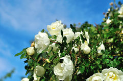 Wild white rose flowers of rosehip  against blue sky Royalty Free Stock Image