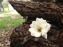 Wild White Rose Royalty Free Stock Images