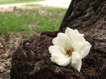 Wild White Rose stock photos
