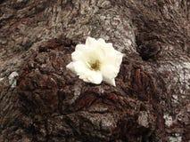 Wild White Rose stock photo