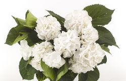 Wild white roses isolated Royalty Free Stock Images