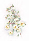 Wild white roses watercolor painting stock illustration