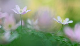 Wild white spring flowers, wood anemone nemerosa. Soft focus macro of forest wildflowers on a blurred background stock photography