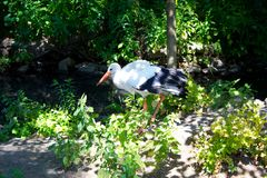 Big white stork Royalty Free Stock Images
